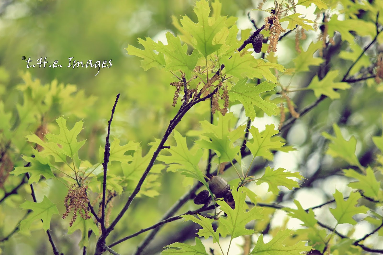 oak leaves in spring