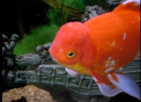 goldfish eggs in pond. goldfish eggs in pond.