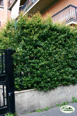 Eugenia myrtifolia: una rustica specie da siepe