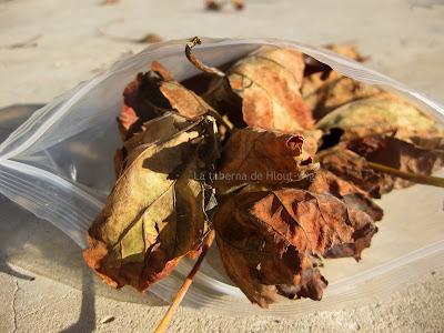 hojas secas de parra