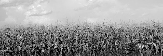 Corn 2012 Hwy 388 Hickory Ridge Studio