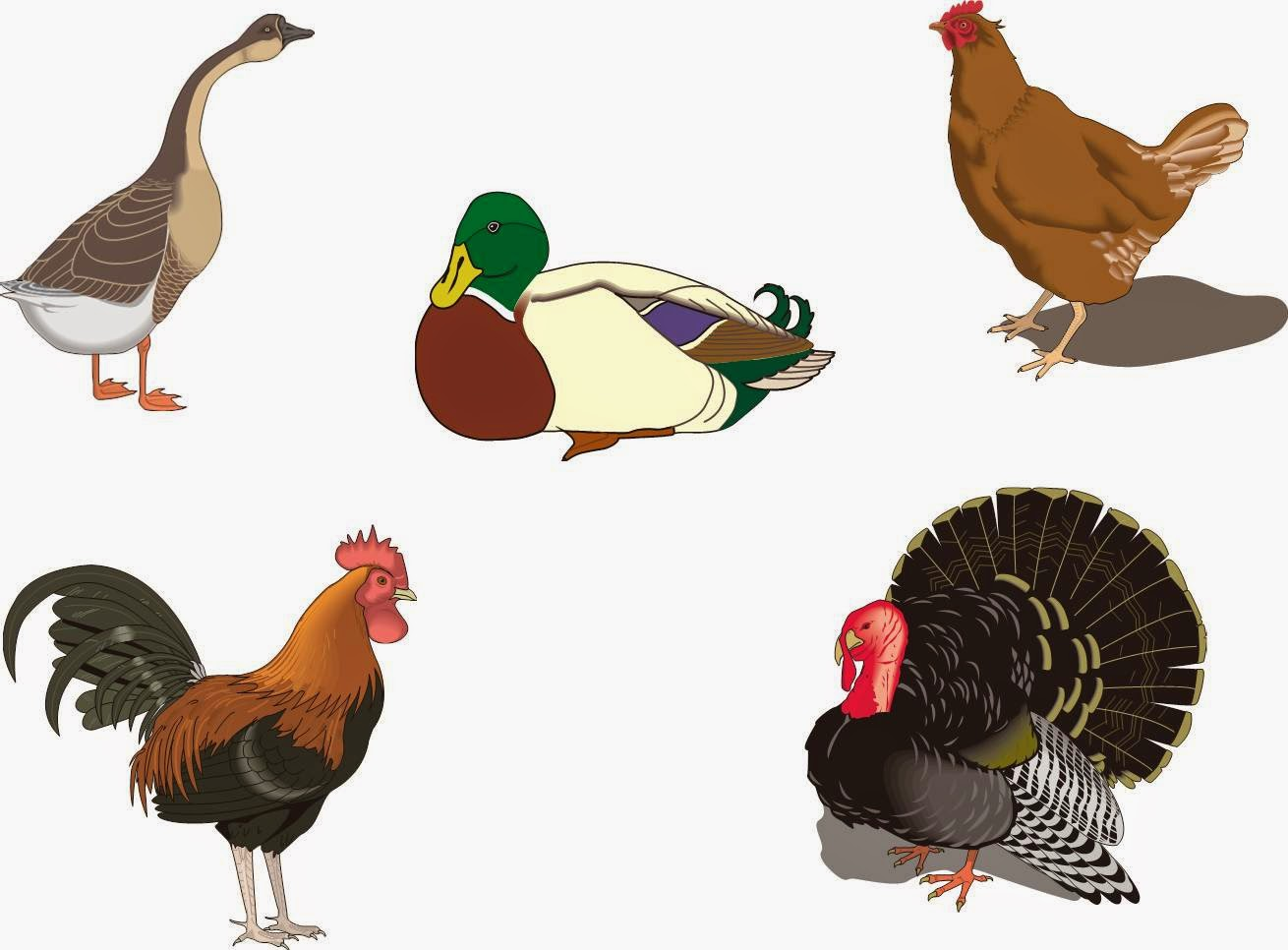 Фото для детей о домашних птицах