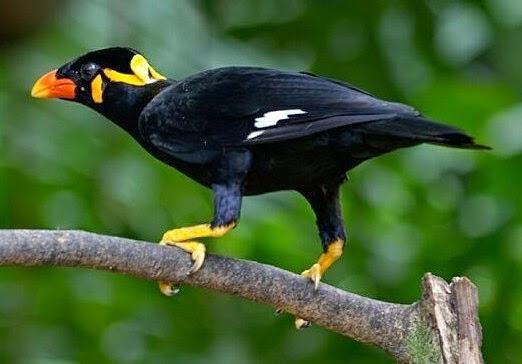 Gambar Cara Merawat Burung Beo