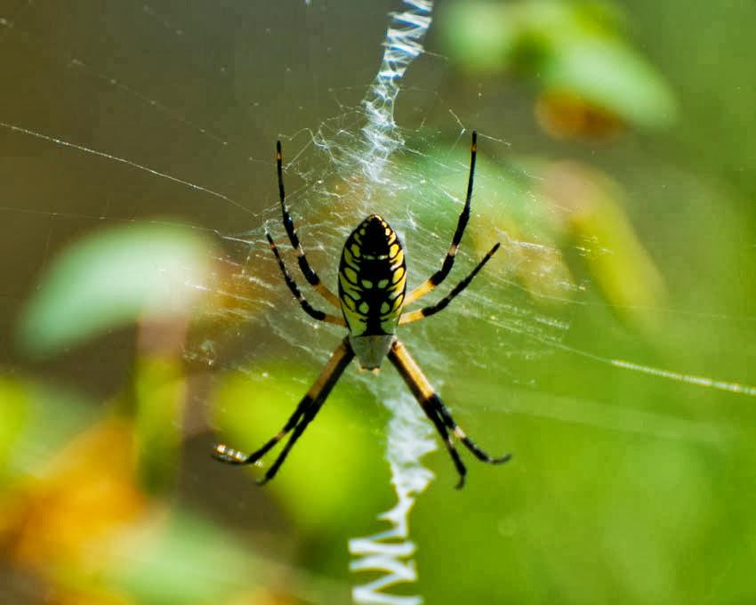 Black Yellow Garden Spider Argiope Aurantia