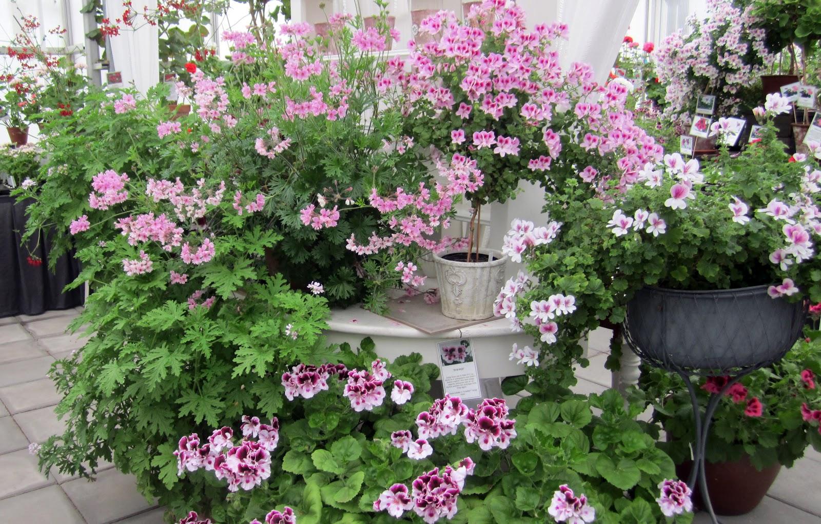 I vått och torrt trädgårdsdesign: pelargoner i långa banor...