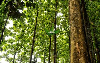 Pohon_kayu_Jati
