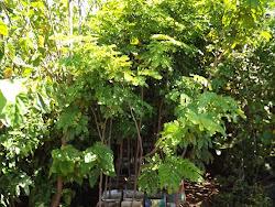 Arvores de Pau Brasil