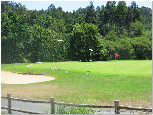 Gaviotas en campo de golf