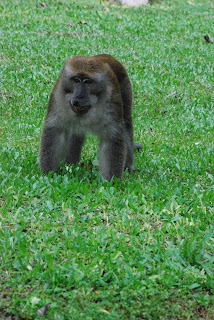 Monkeys Malaysia