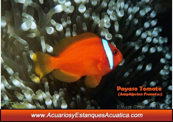 acuarios-estanques-acuatica-pez-payaso-tomate