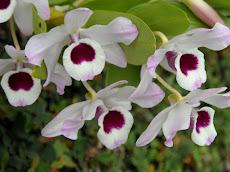 Orquidivina