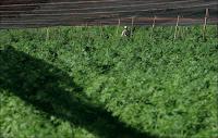 Ladang Ganja Terbesar Di Dunia