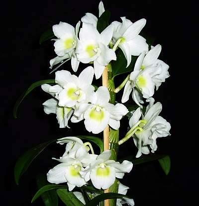 le mie orchidee dendrobium nobile. Black Bedroom Furniture Sets. Home Design Ideas
