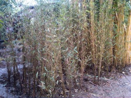 bambu telisik atau bambu cina dijual per / rumpun
