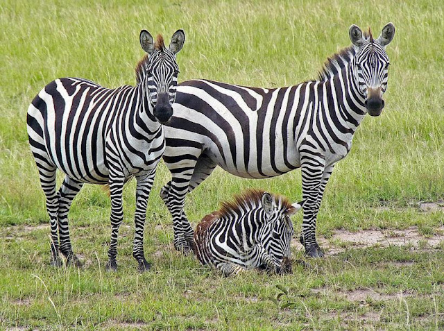 Buy canvas artwork of Zebra Family
