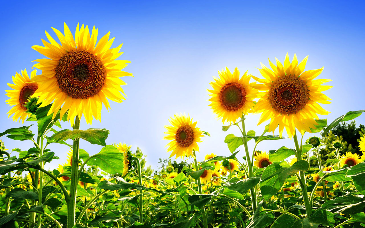 wallpapers: Sunflowers Desktop Wallpapers