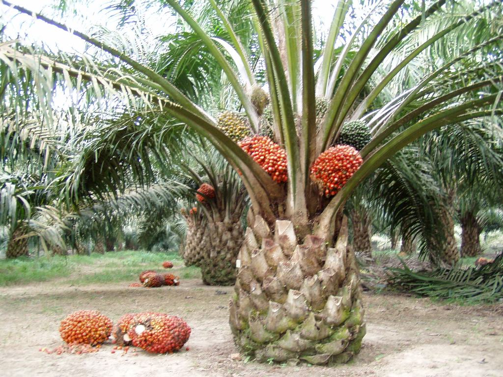 Image result for kelapa sawit site:blogspot.com