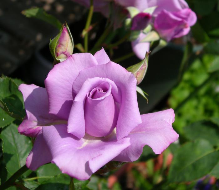 Crea tu jard n rosales iii for Viveros el rosal