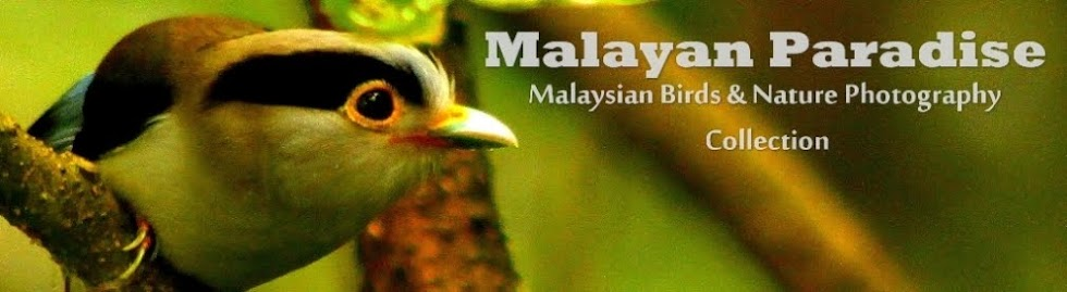 SOUTH EAST ASIA BIRDS - Malaysia birds paradise