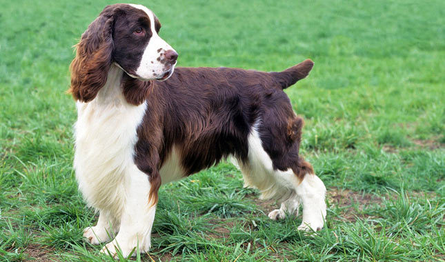 About Dog English Springer Spaniel: How Well Is Your ...