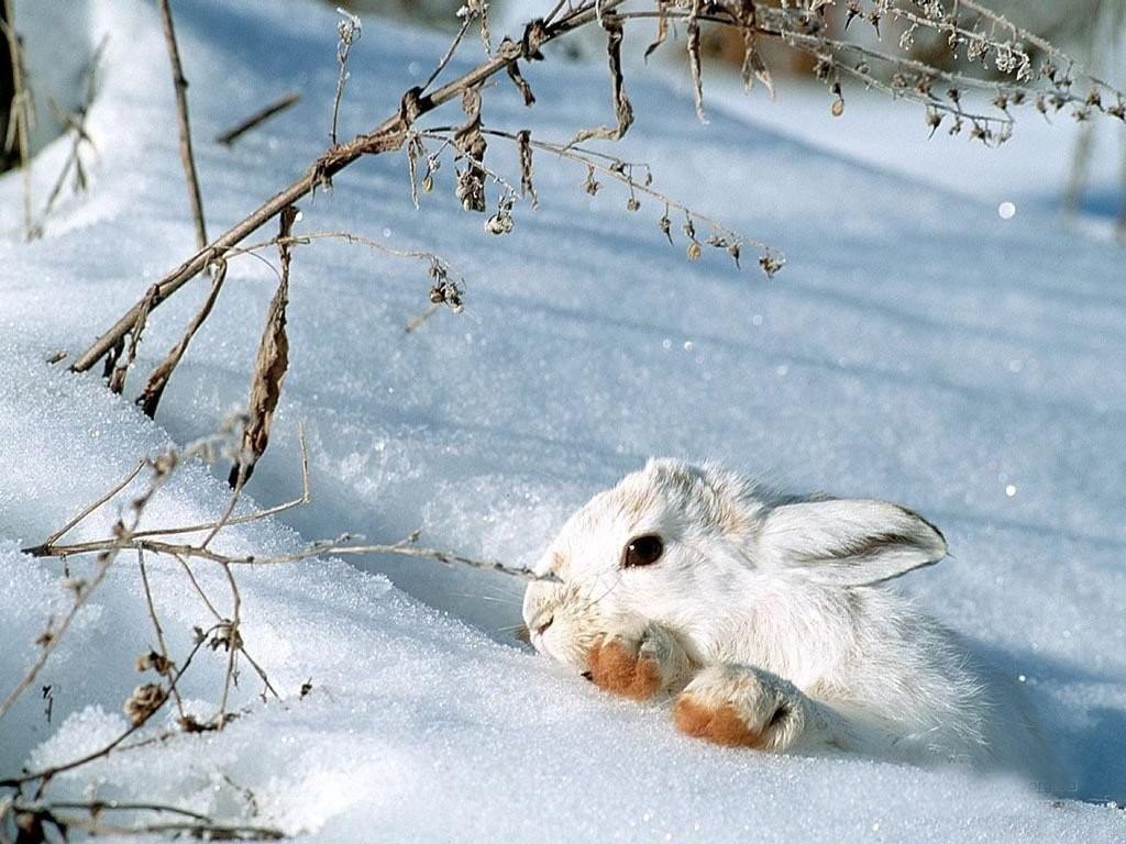animals white rabbit snow - photo #1