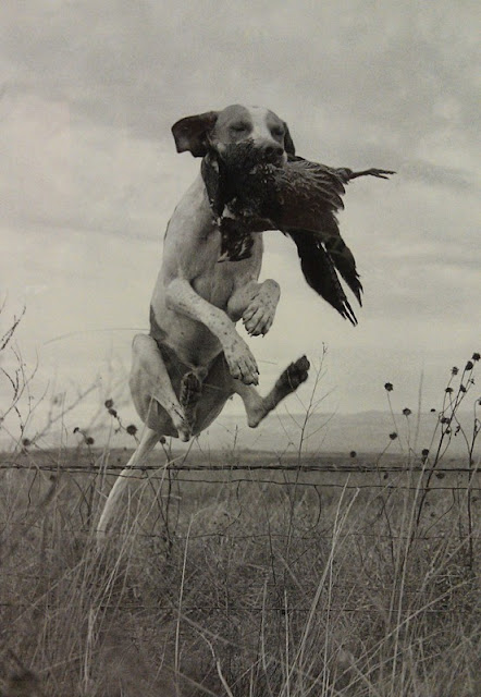 Bird dog jumping barbed wire