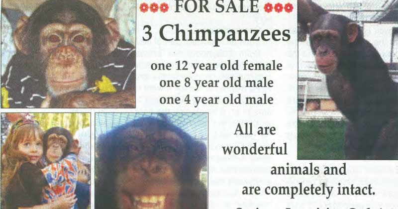 Chimp Trainer S Daughter Ape Ownership It Is The