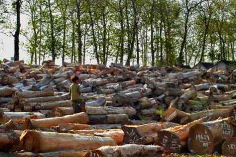 penjualan kayu jati gelondong
