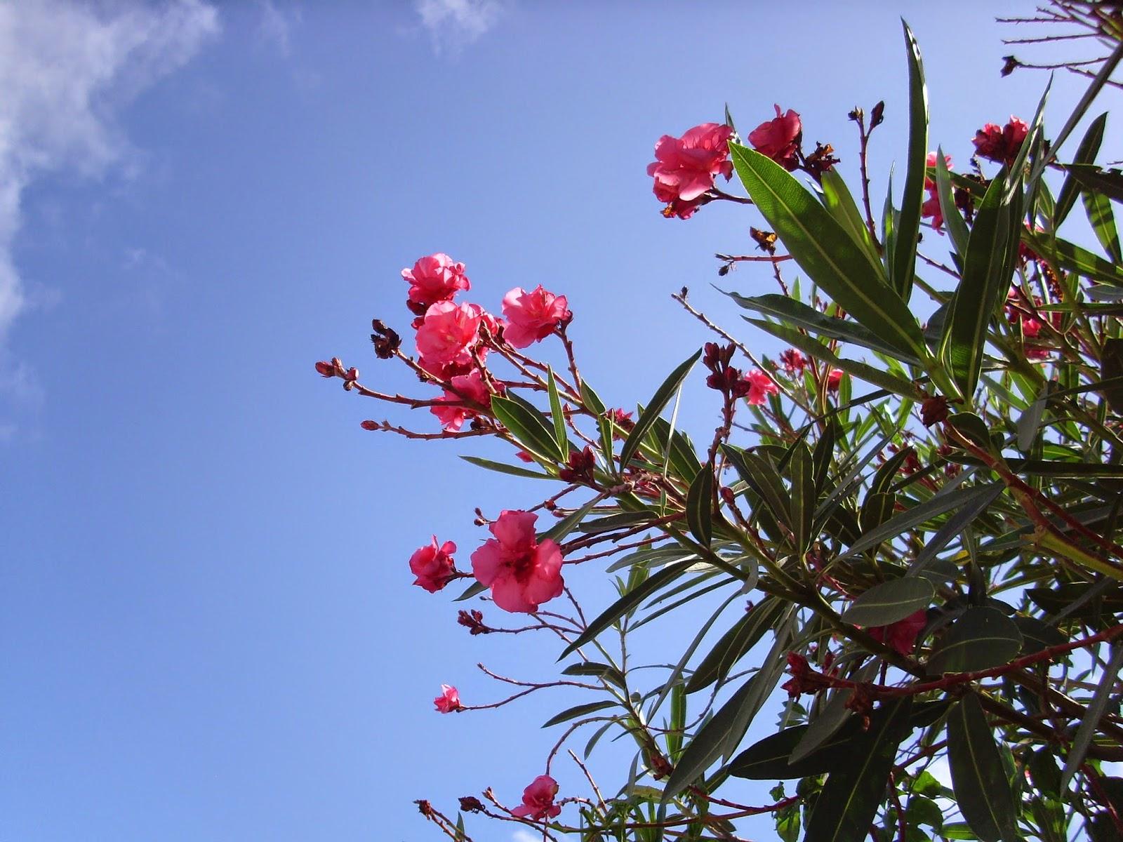 adelfas flores rosadas