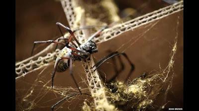 """إناث عنكبوت """"اورب"""" الذهبي, مرتفعات مدغشقر,"""