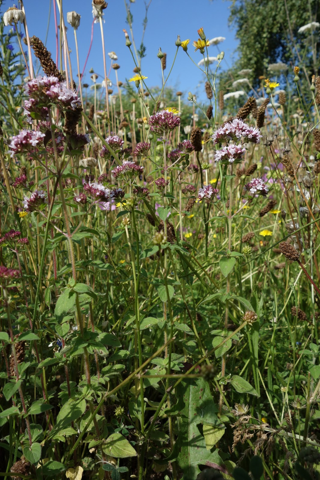 Urban pollinators what plants are flowering in our perennial meadows clusters of small pink flowers and small ovate aromatic leaves the leaves can be used to flavour food such as pizza and pesto mightylinksfo
