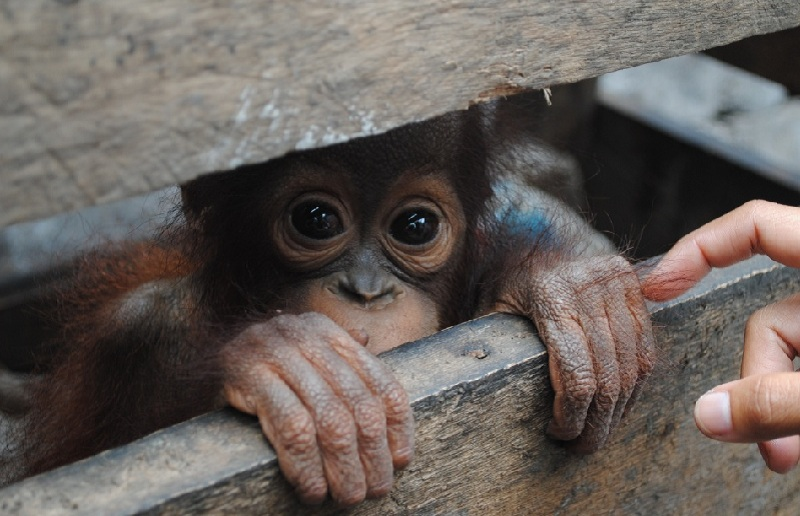 Baby Orangutan saved from captivity