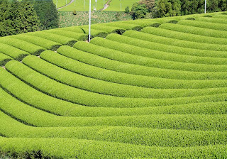 Beautiful vibrant green tea fields where Shincha leaves are ready to be harvested