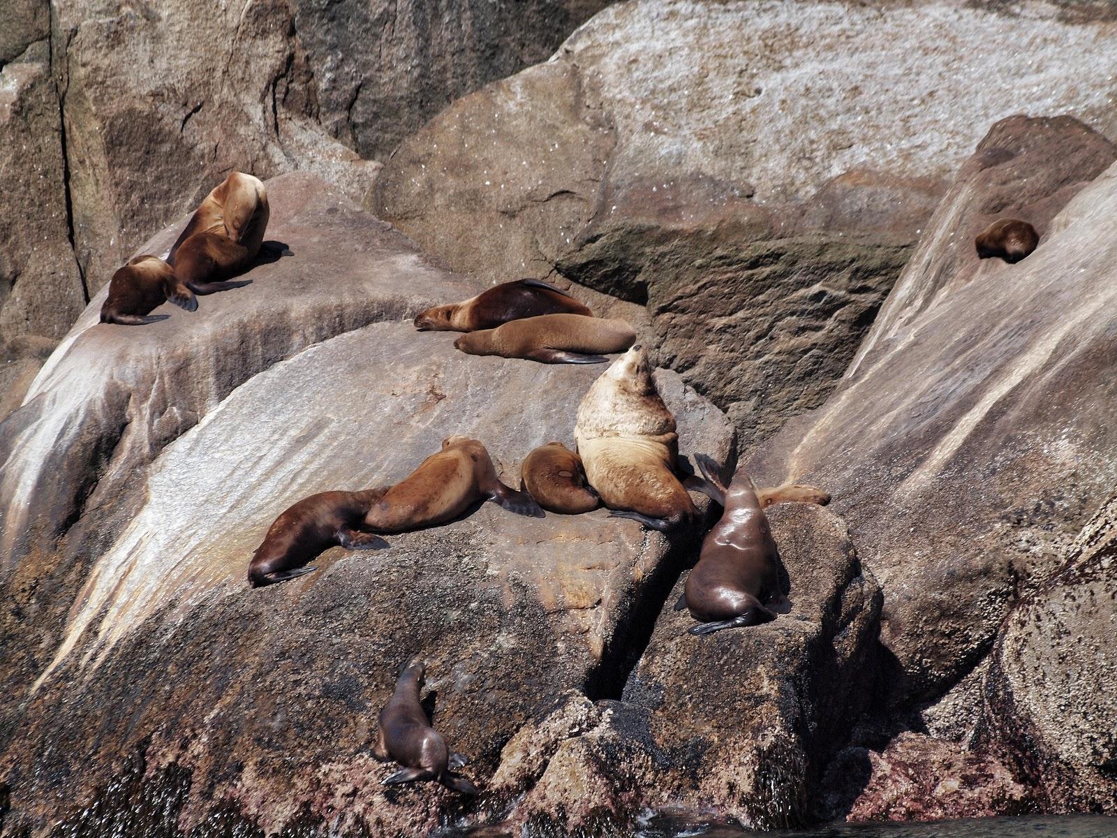 Stellar Sea Lions, #alaska #resurrectionbay #kenai 2013 #Stellar Sea Lions