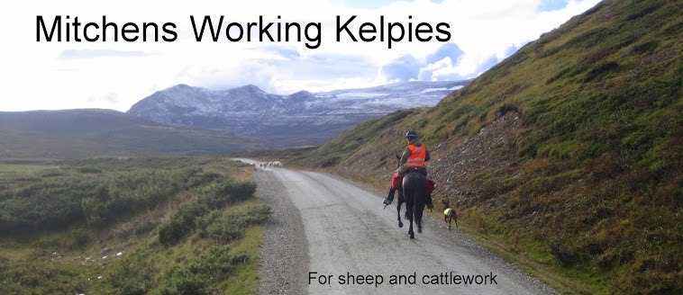 MITCHENS WORKING KELPIE.