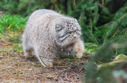 Pallas cats animals interesting facts latest pictures the pallas cat pet iamges publicscrutiny Images
