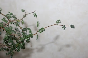 SOPHORA PROSTRATA