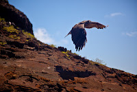 Galapagos Hawk flying over volcanic rock