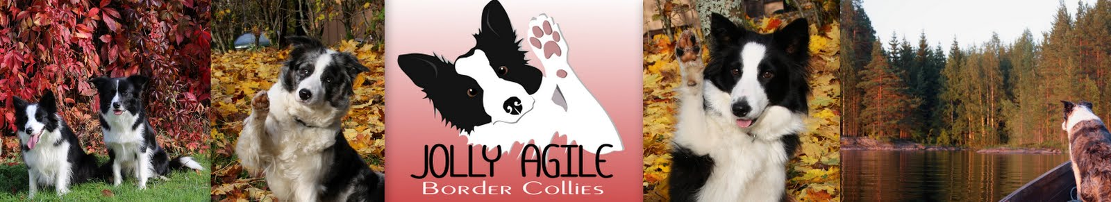 Jolly Agile  Border Collies