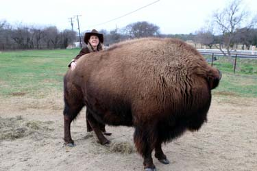 four legged friends and enemies housebroken bison in texas finds