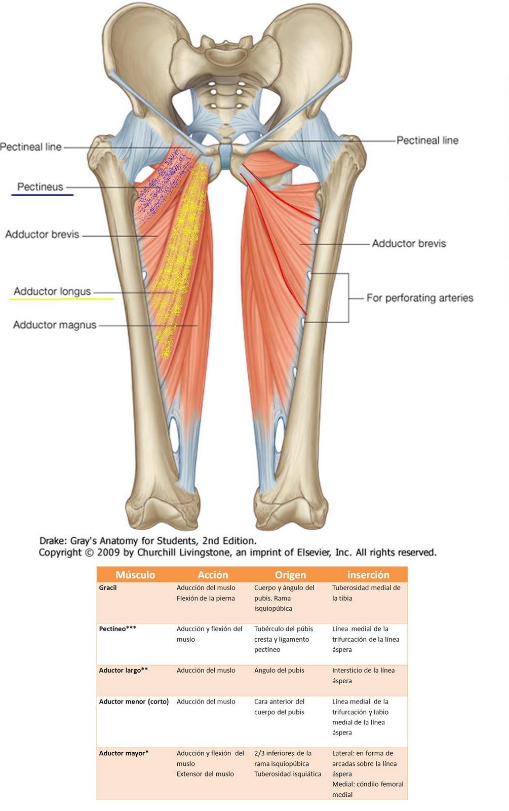 Anatomía UNAM: ADUCTORES