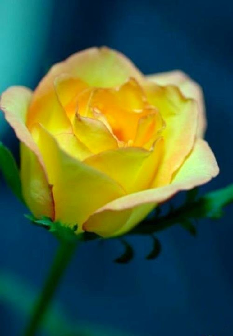 Romantic Yellow Rose Flowers Images Online Rose Flowers Pics