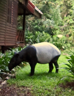 Black and White Tapir