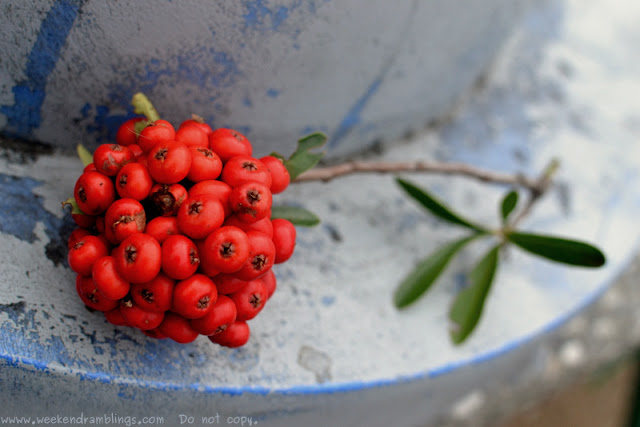 Weekend Snapshot:  Pyracantha Berries