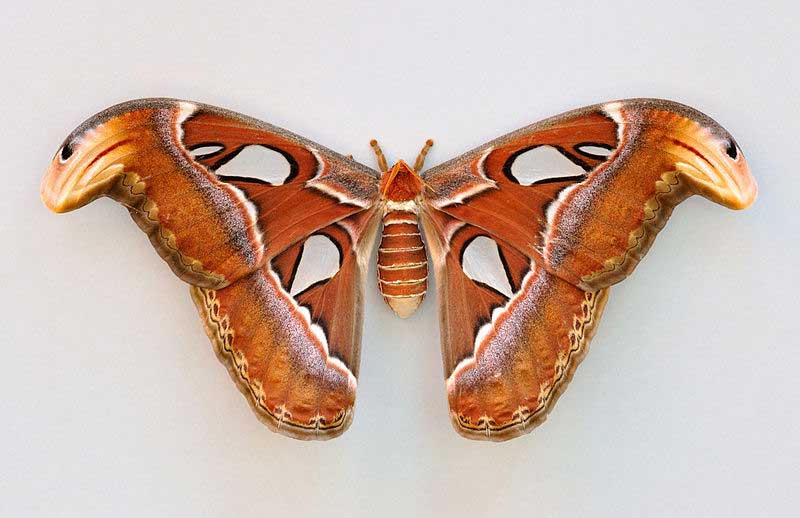 Largest moth in the world - photo#20