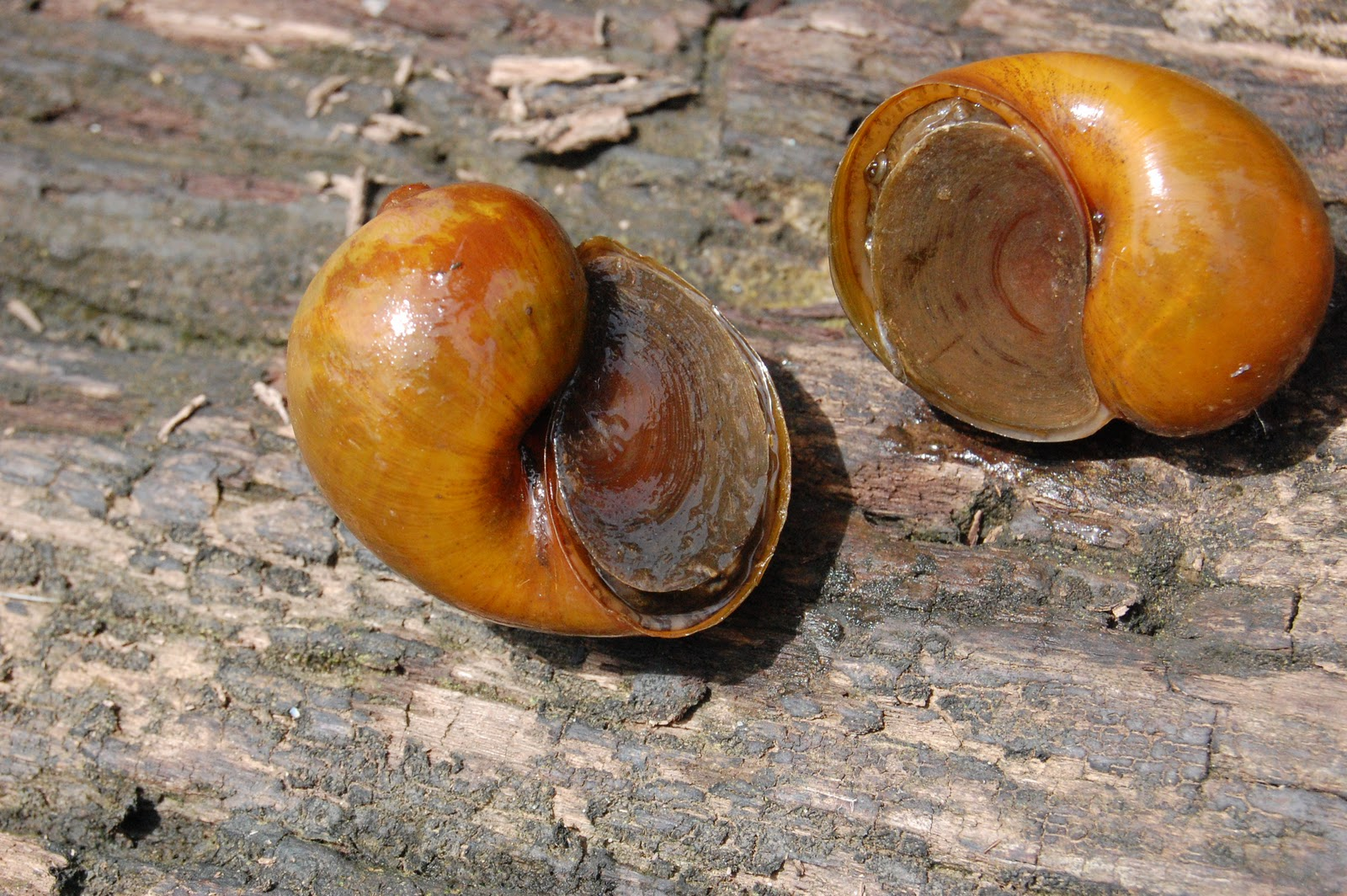 Apple snails Pomaceae sp . - invasive species found in Mesangat