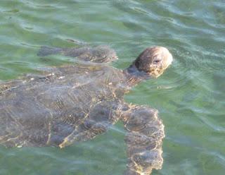 Sea turtle at Punta Moreno, Isabela Island, Galapagos