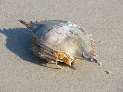 Beach combing - this is a blue crab shell, picked clean by the birds