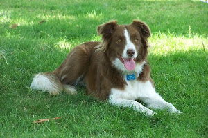 Annie our Border Collie