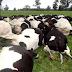 Increíble y triste: Tormenta eléctrica mató a 55 vacas de una finca chilena